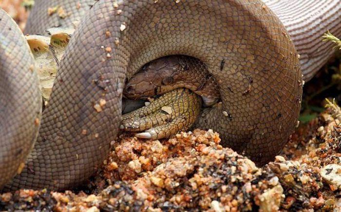 serpiente contra cocodrilo10