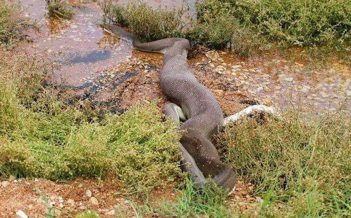 serpiente contra cocodrilo14