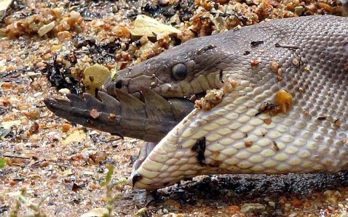 serpiente contra cocodrilo15