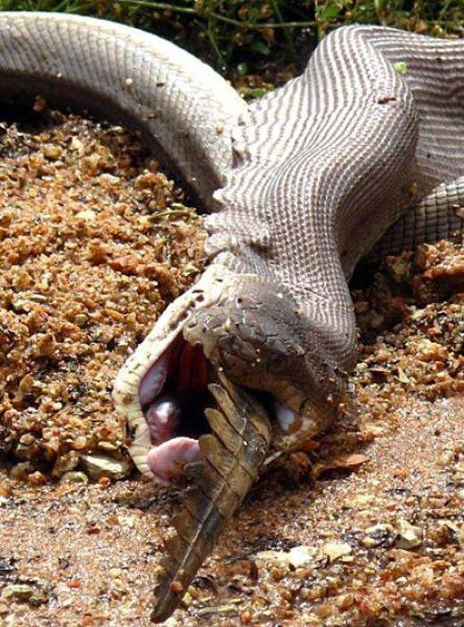 serpiente contra cocodrilo16