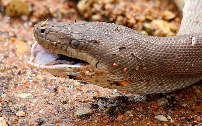 serpiente contra cocodrilo17