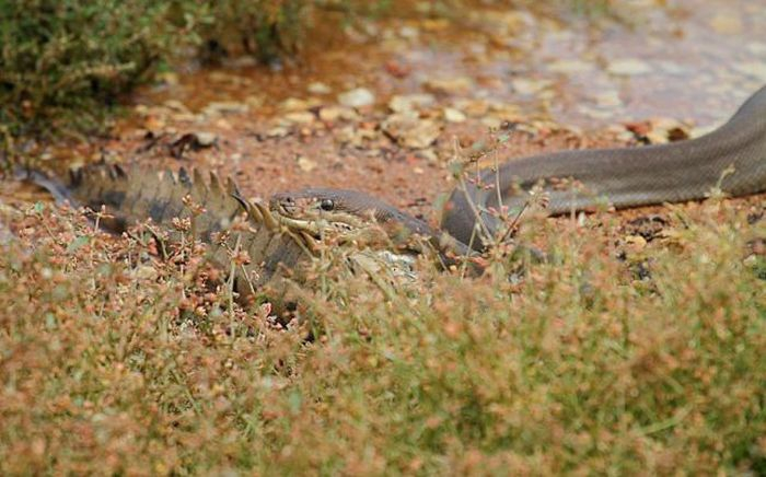 serpiente contra cocodrilo3