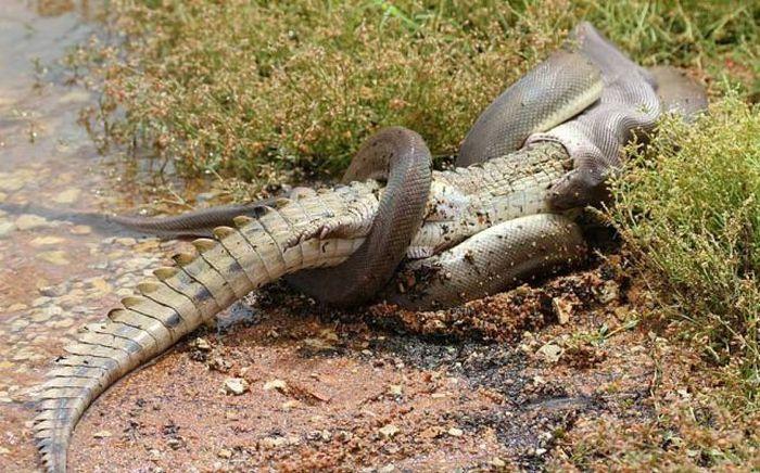 serpiente contra cocodrilo4