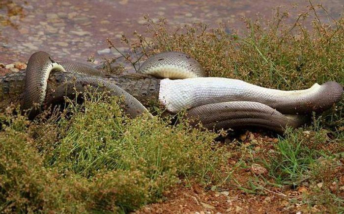serpiente contra cocodrilo5