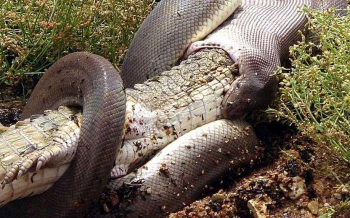 serpiente contra cocodrilo6