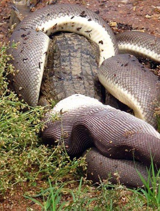 serpiente contra cocodrilo7