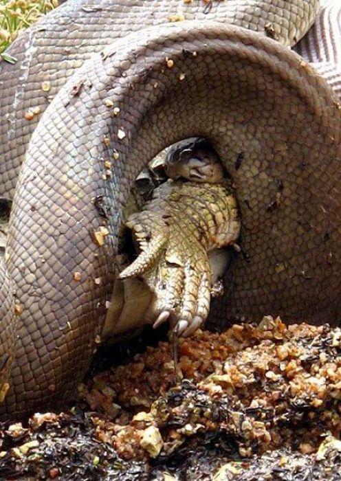 serpiente contra cocodrilo9