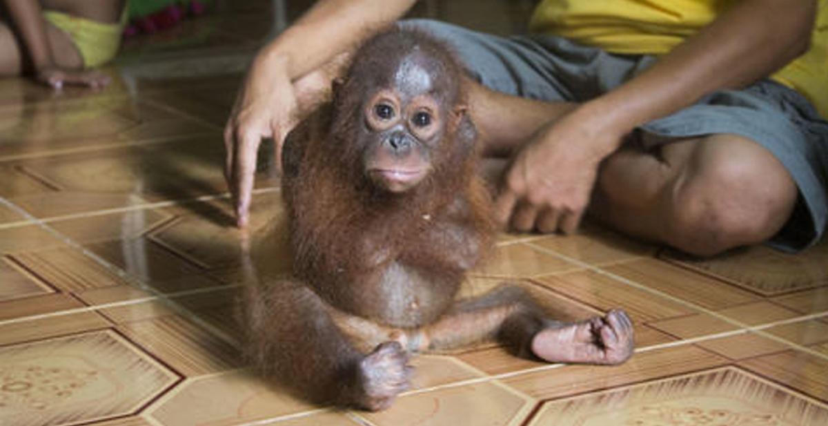 Joss_orangutan_portada