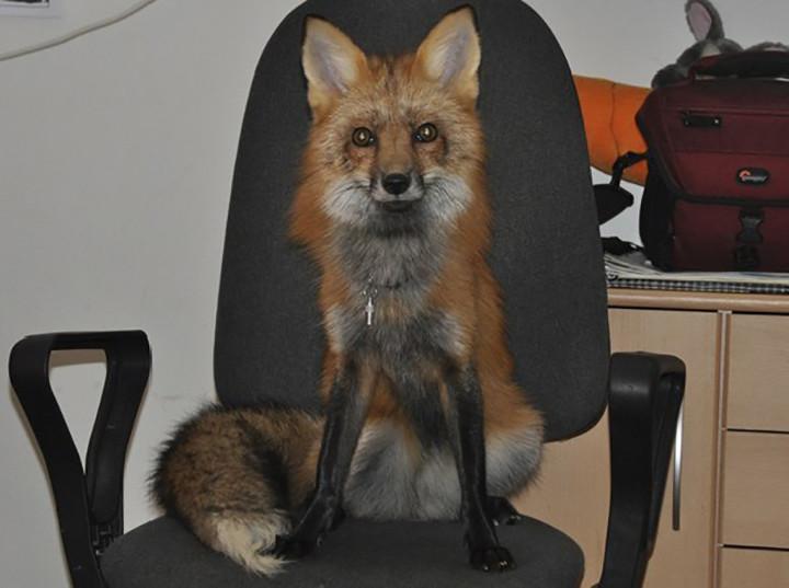 chico salva a zorro de convertirse en un bols y este se convierte en su mascota 11