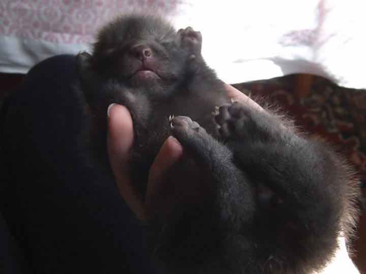 chico salva a zorro de convertirse en un bols y este se convierte en su mascota 3
