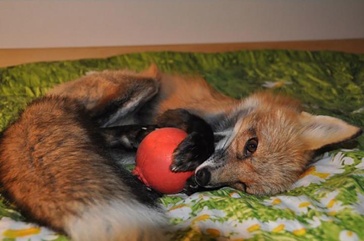chico salva a zorro de convertirse en un bols y este se convierte en su mascota 7