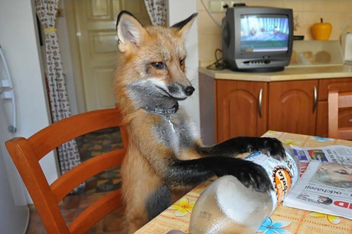 chico salva a zorro de convertirse en un bols y este se convierte en su mascota 8
