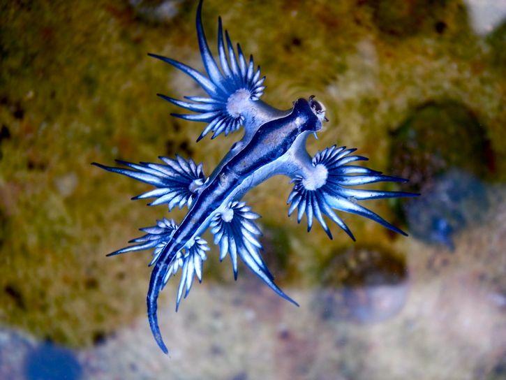 dragon azul 6