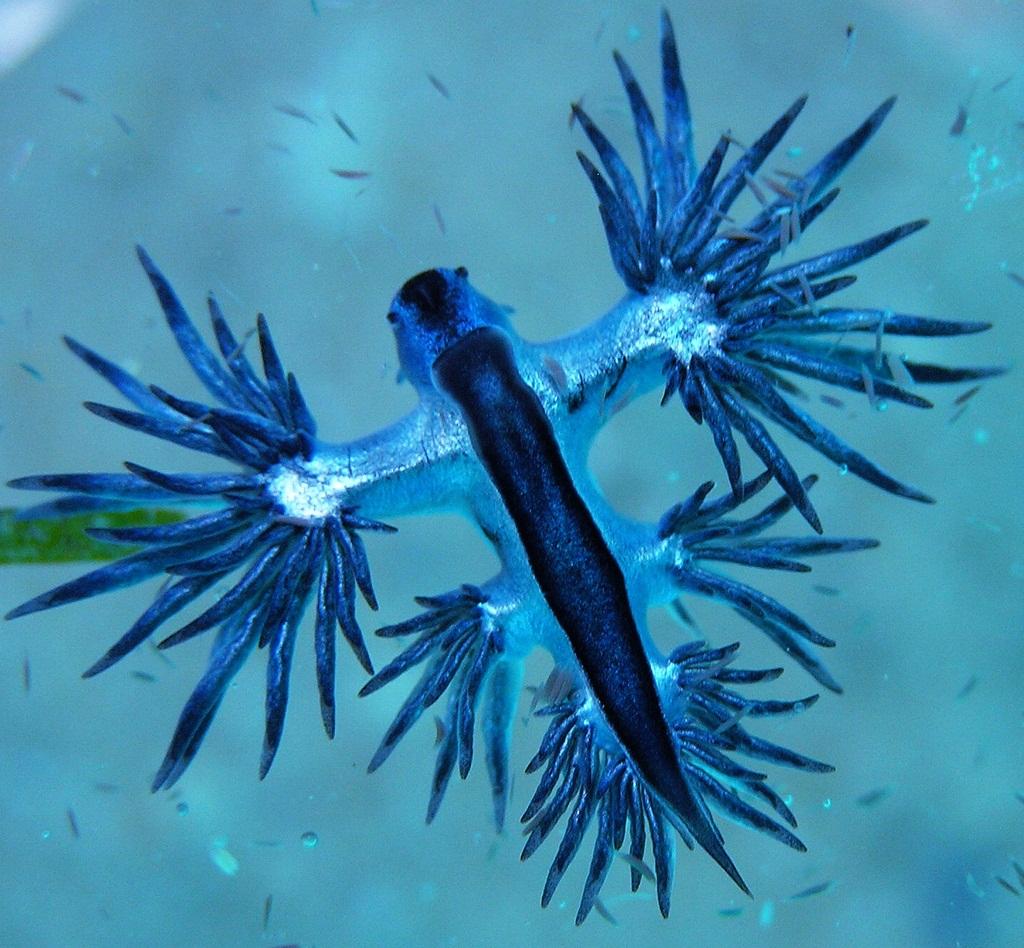 dragon azul f 7