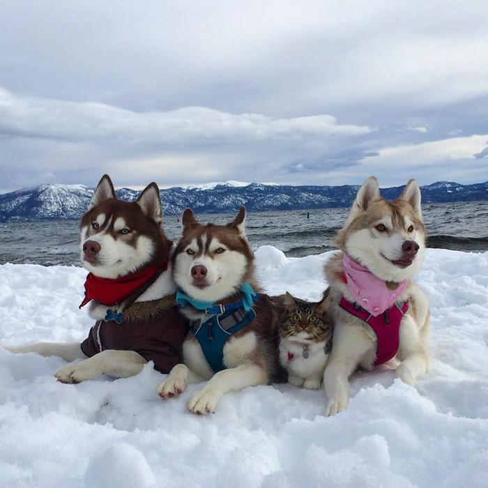 huskies_gato_1