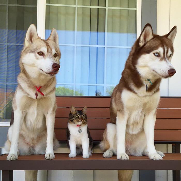 huskies_gato_10