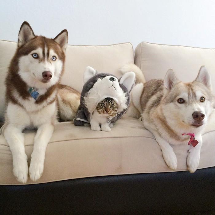huskies_gato_2
