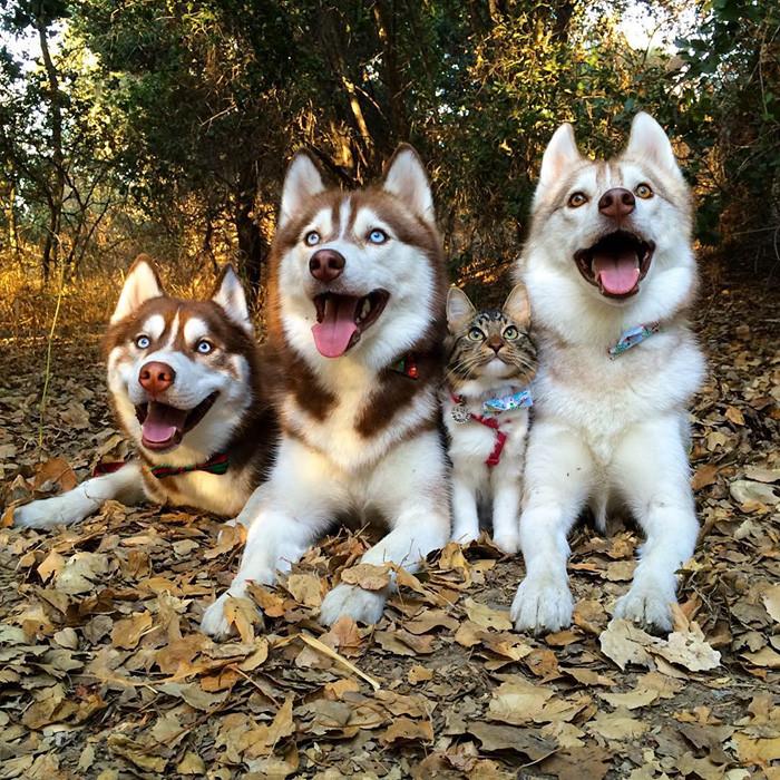 huskies_gato_4