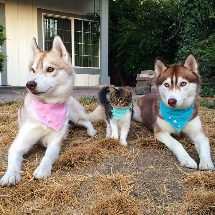 huskies_gato_7