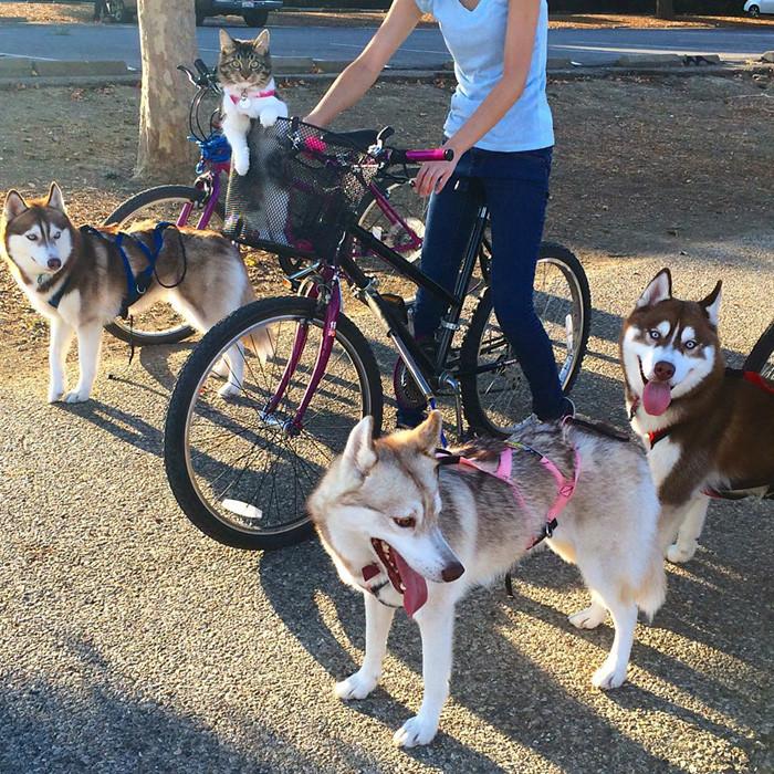 huskies_gato_8