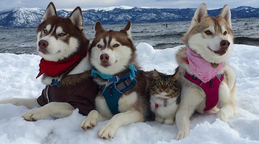 huskys-rescatan-gatito