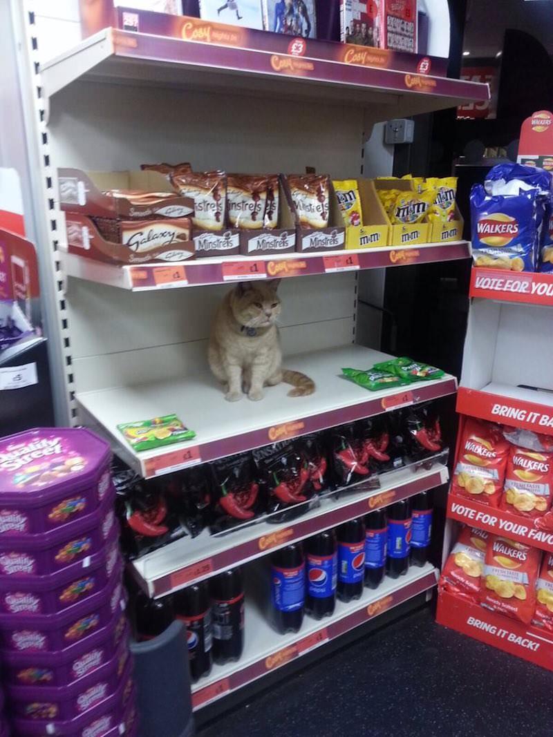 olly, el gato que se cuela en el supermercado sainsbury y lanza miradas acusadoras a los clientes 4