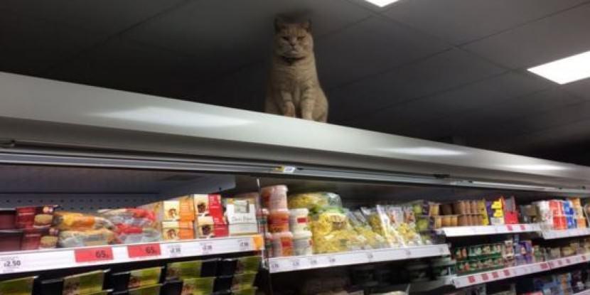 olly, el gato que se cuela en el supermercado sainsbury y lanza miradas acusadoras a los clientes 5