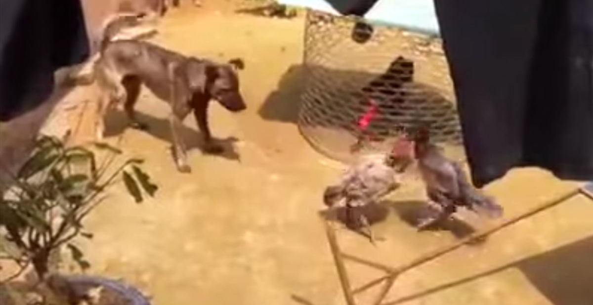 perro evita que dos gallos se peleen