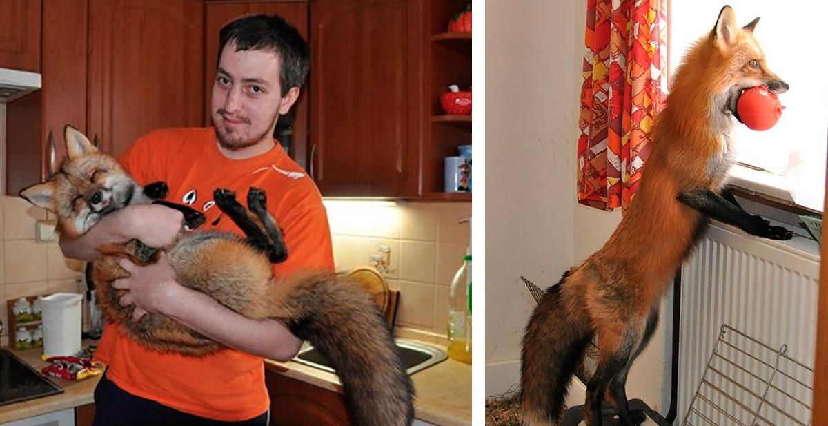 zorro se convierte en mascota despues de sera salvado de una granja