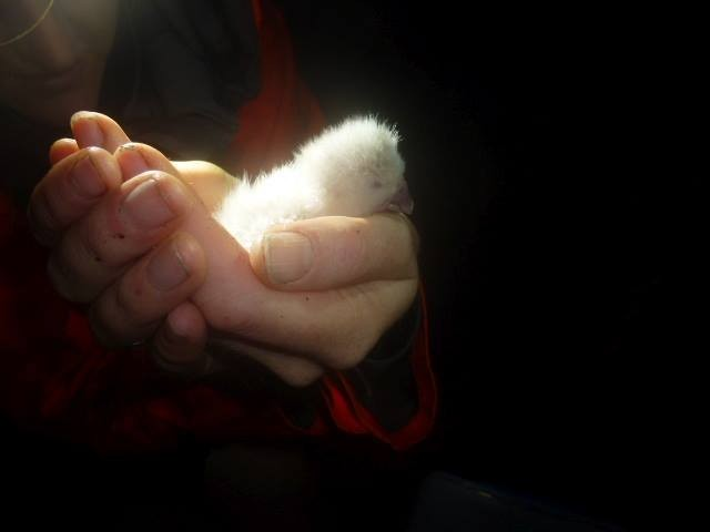 bebe de kakapo