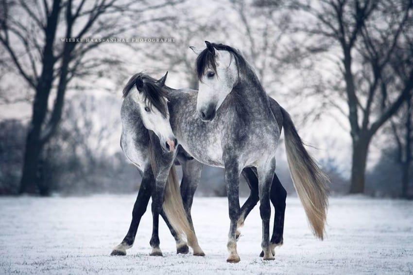 caballos modelo 5