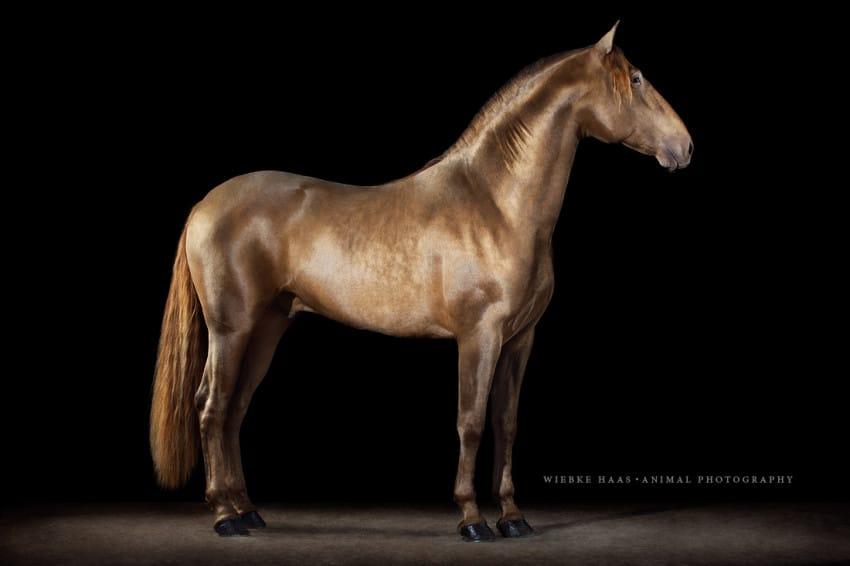 Paco Marti, Ismaeli, PRE, Hengst, Pearl, Pferdefotograf; Pferde; Pferdefotografie