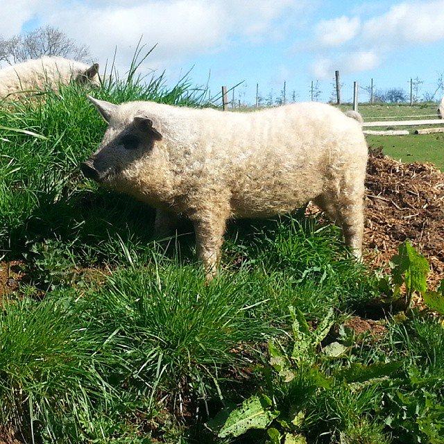cerdovejas mitad cerdo mitad oveja 1