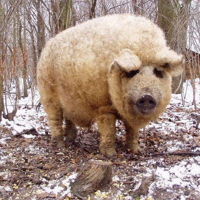 cerdovejas mitad cerdo mitad oveja 2