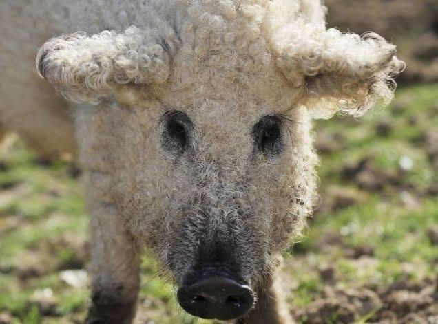 cerdovejas mitad cerdo mitad oveja 3