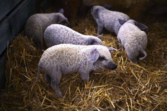 cerdovejas mitad cerdo mitad oveja 6