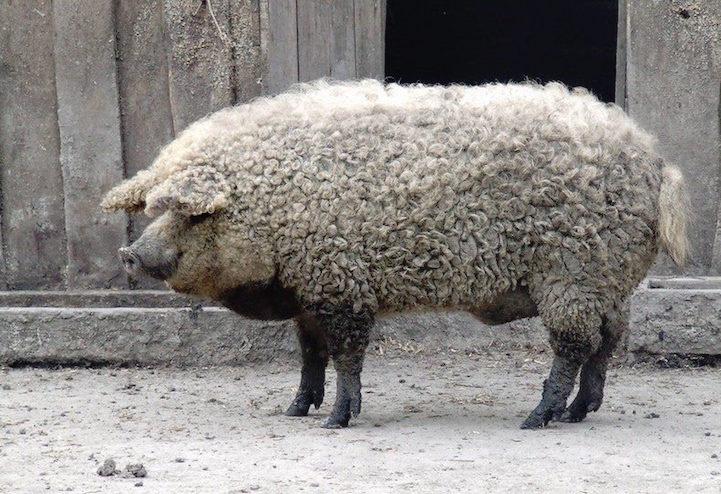 cerdovejas mitad cerdo mitad oveja 7
