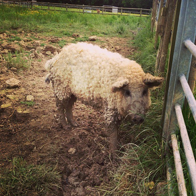 cerdovejas mitad cerdo mitad oveja 8
