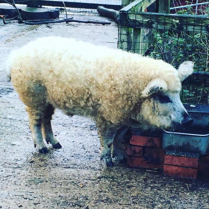 cerdovejas mitad cerdo mitad oveja 9