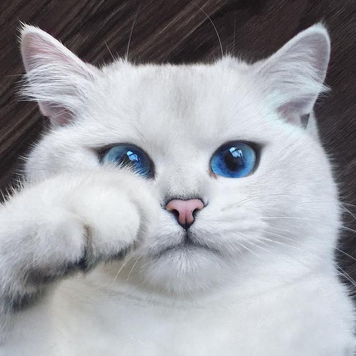 coby, el gato con los ojos azules mas bonitos que hemos visto nunca 1