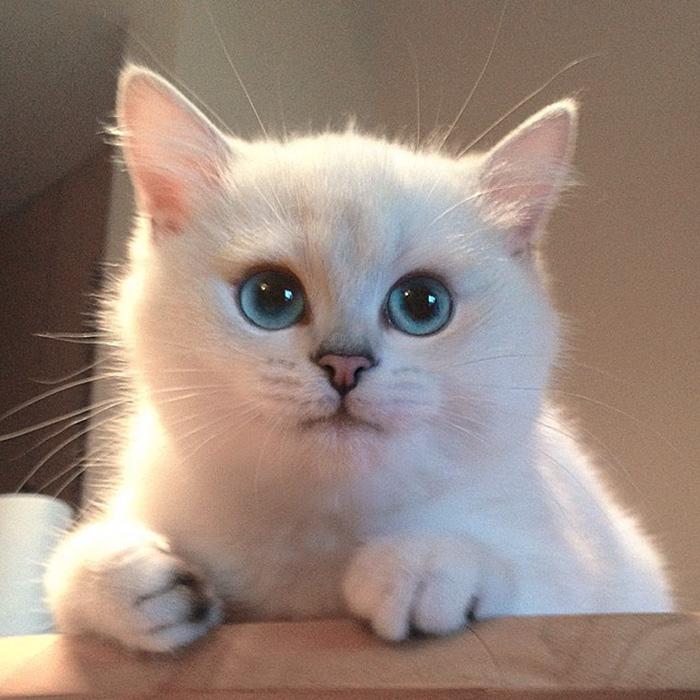 coby, el gato con los ojos azules mas bonitos que hemos visto nunca 10