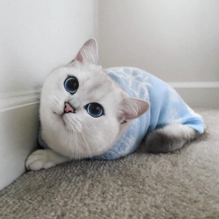 coby, el gato con los ojos azules mas bonitos que hemos visto nunca 14