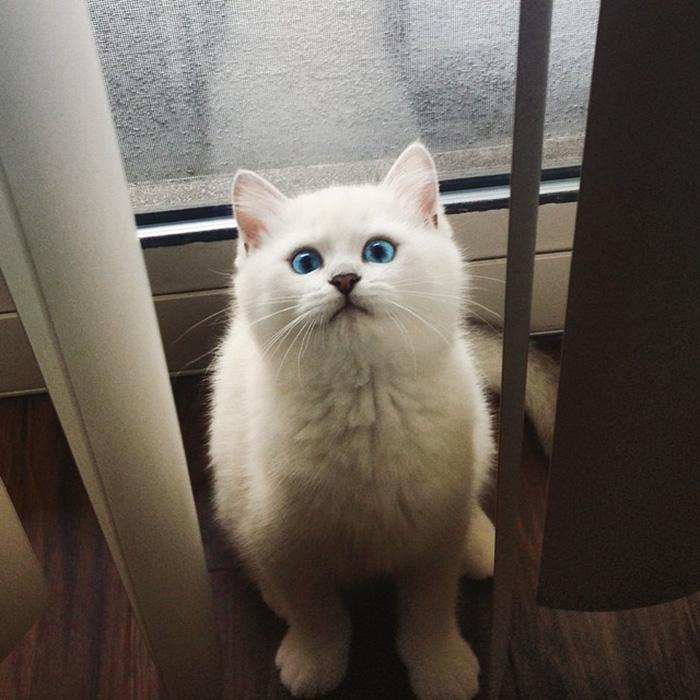 coby, el gato con los ojos azules mas bonitos que hemos visto nunca 15