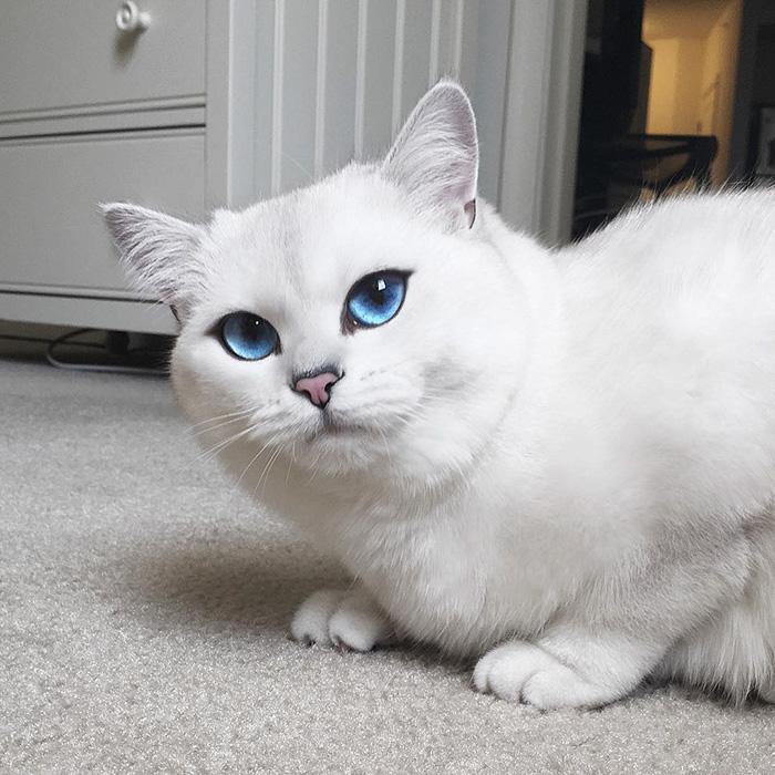 coby, el gato con los ojos azules mas bonitos que hemos visto nunca 16