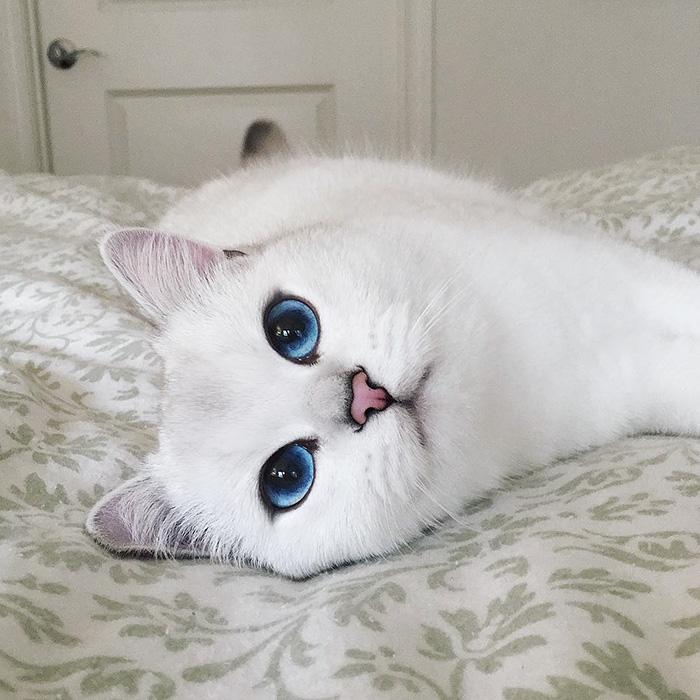 coby, el gato con los ojos azules mas bonitos que hemos visto nunca 17