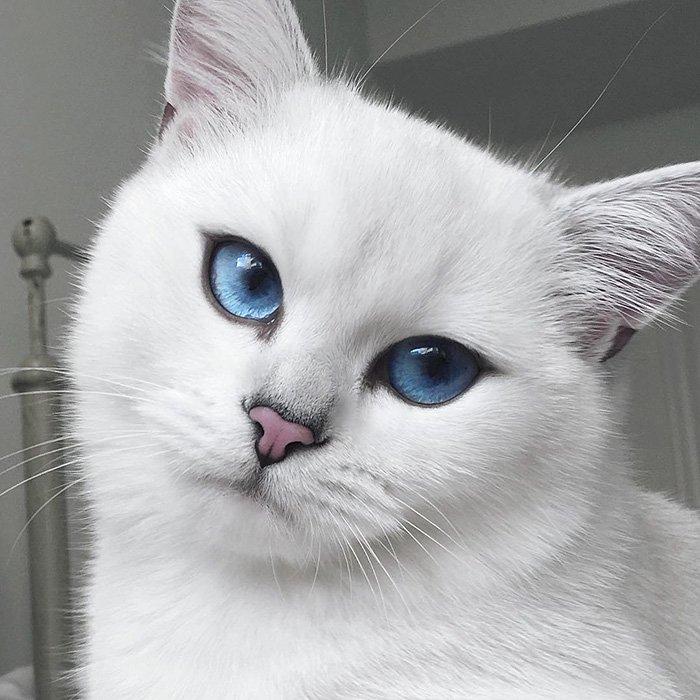 coby, el gato con los ojos azules mas bonitos que hemos visto nunca 3