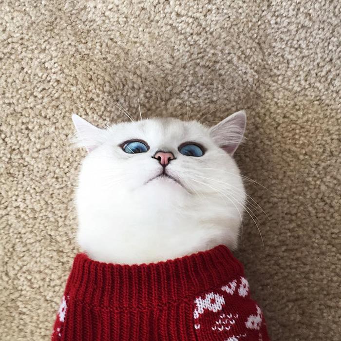 coby, el gato con los ojos azules mas bonitos que hemos visto nunca 5