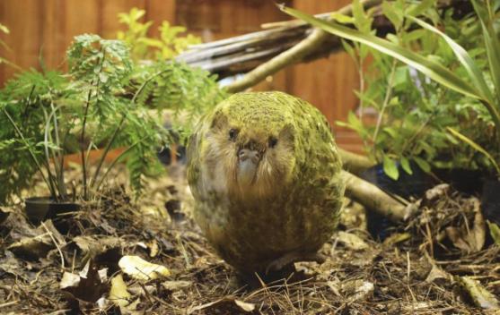 cria de kakapo ha nacido en nueva zeldanda