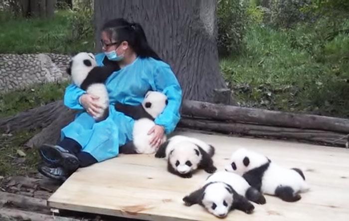 el mejor trabajo del mundo es cuidador de pandas 1