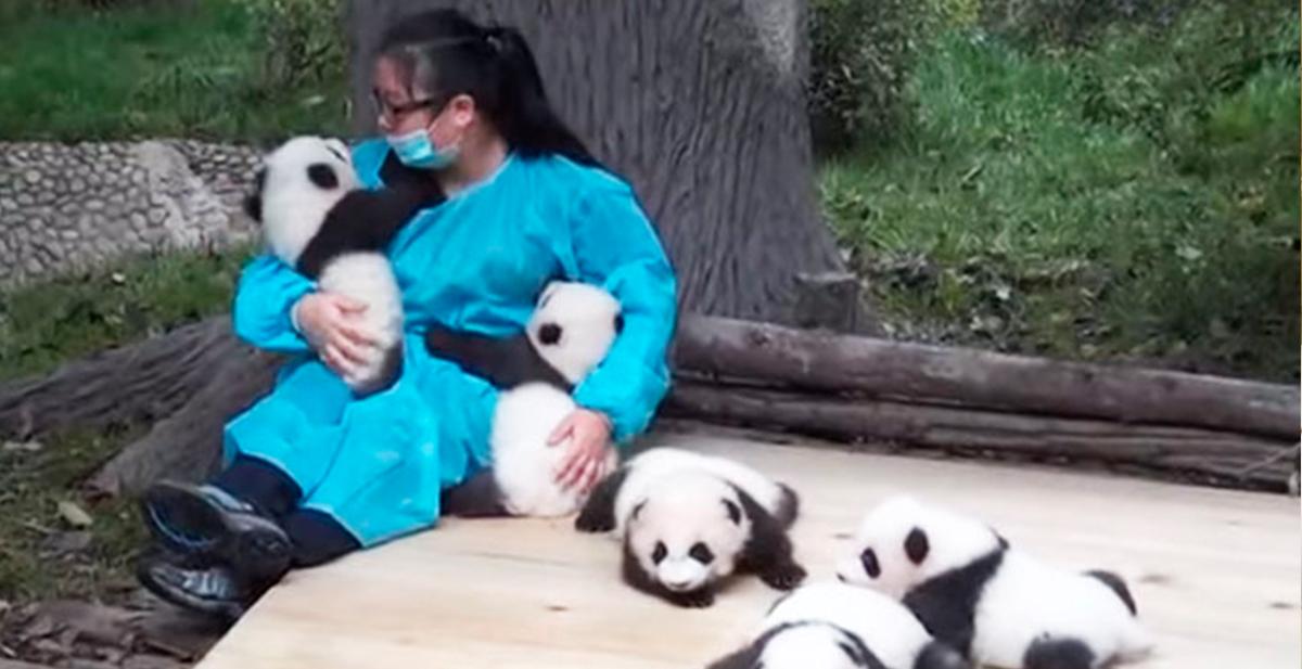 el mejor trabajo del mundo es el de cuidador de osos panda